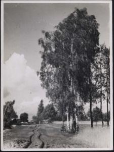 Grünberg b. Litzmannstadt : Birken am Sandweg